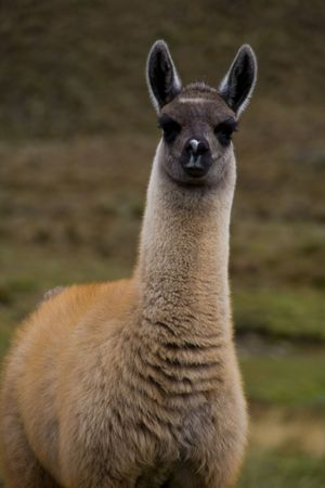alpaca  in the wilderness of Cajas National Park, Ecuador Stock Photo - 3712871