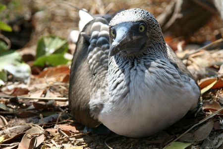 boobie: close up of a blue footed boobie in the wild Stock Photo