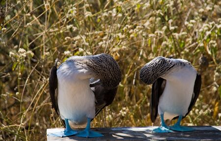 booby: wild blue-footed boobies on the galapagos islands