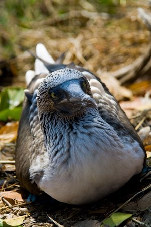 a blue-footed boobie peering at the camera