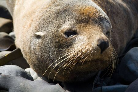 a Sleepy old seal in new zealand Stock Photo
