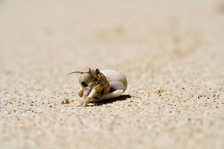 a hermit crab comming out slowly photo
