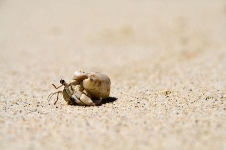 slow hermit crab on the white samoan beach