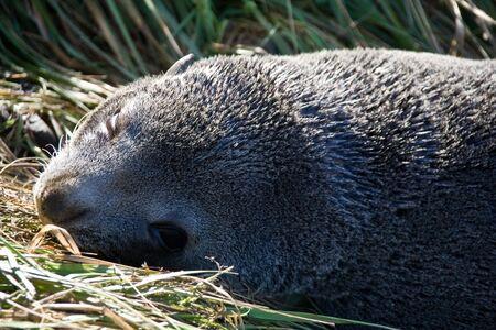 New Zealand Fur Seal Posing Stock Photo