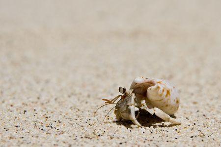 hermit crab running over the beach
