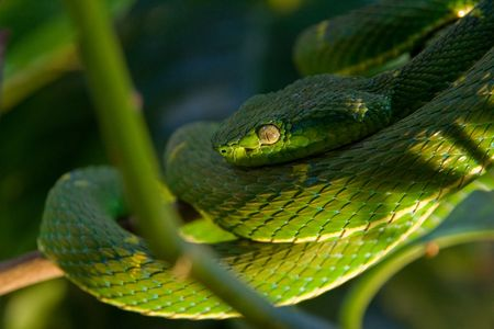 the poisonous green viper on a tree Stock Photo - 3728342