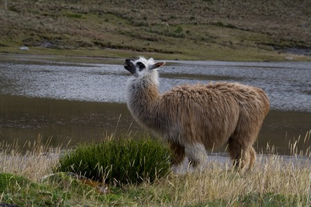 a posing alpaca mother in front of a lake photo