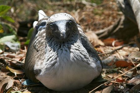 boobie: blue footed boobie staring at the camera