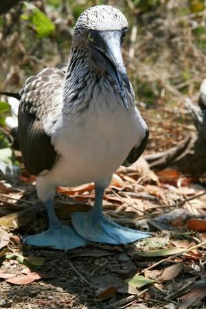 boobie: blue footed boobie showing his feet