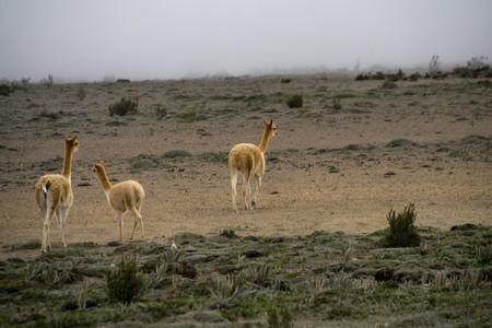 a small vicuna family in ecuador photo