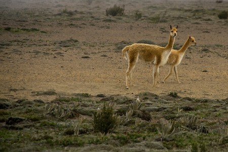 vicuna mother and child photo