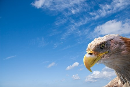 wild bald eagle in front of a blue sky photo