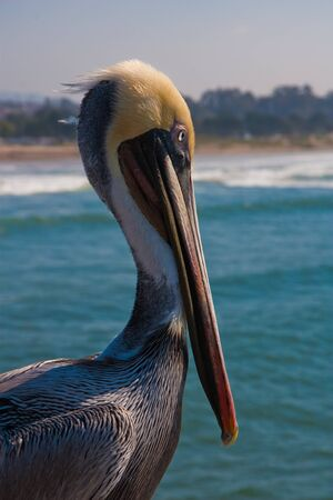 californian pelican watching over the clean water