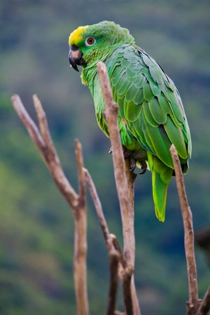 a green costa rican parrot sitting on a death tree Фото со стока