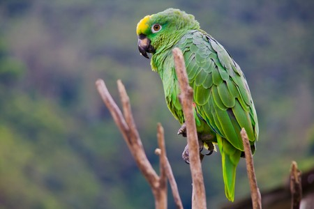 a green costa rican parrot close up