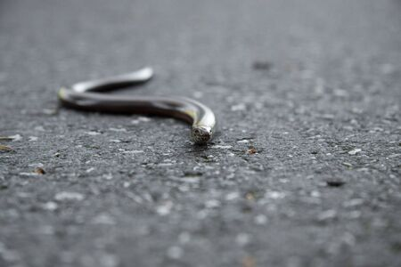 german blindworm looking like a snake on the concrete