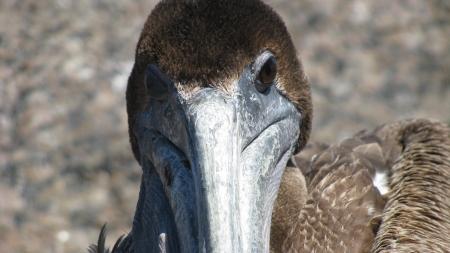 pelican Banco de Imagens - 23700544