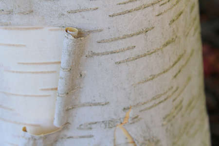 Some bark gently peeling of of a birch tree