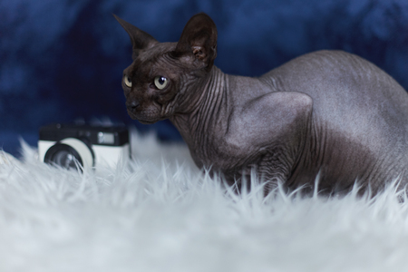 Portrait of grey sphinx cat sitting on white blanket looking sideways. Close up shot of modeling oriental cat at photoset in studio on blue background. Strange animals concept.