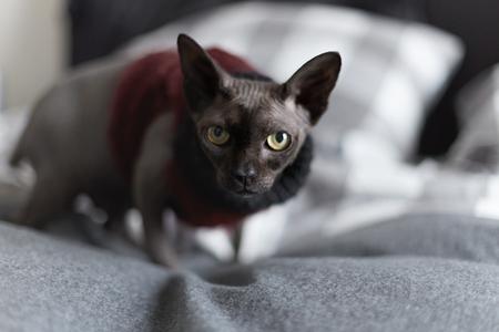Close-up portret van interesing sphynx kat met gele ogen in rode en zwarte trui kijk uit naar bed huis interieur.