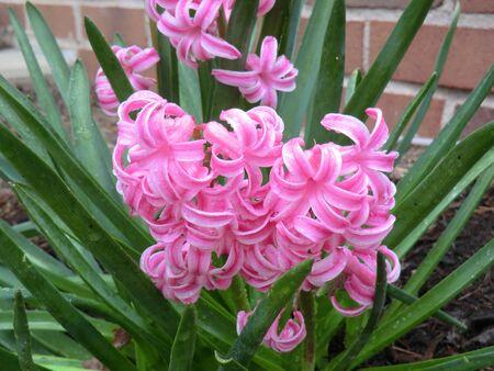 Pink hyacinth Banco de Imagens