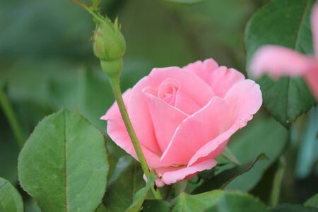 pink rose and bud Stock Photo