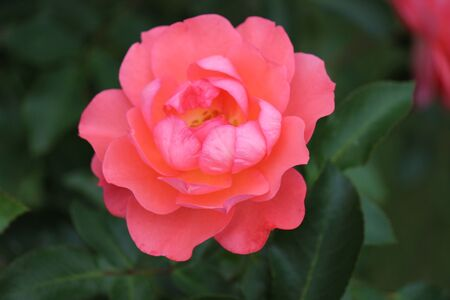 rose on bush