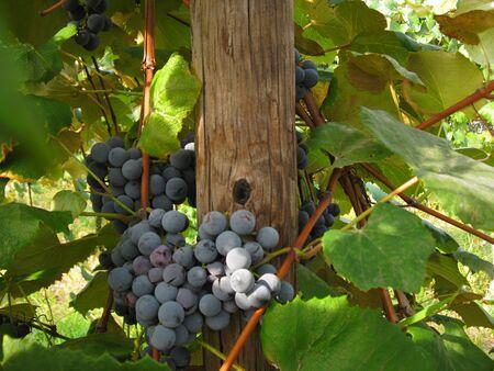 concord grape: Concord grapes in the vineyard Stock Photo