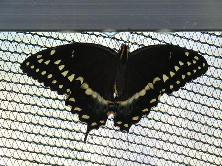 black butterfly Banco de Imagens