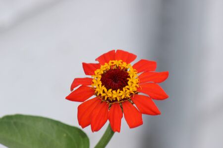 zinnia: Red Zinnia