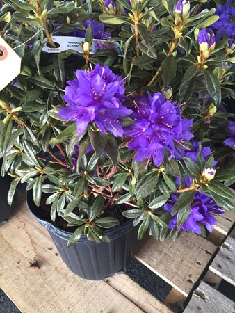 rhododendron for planting