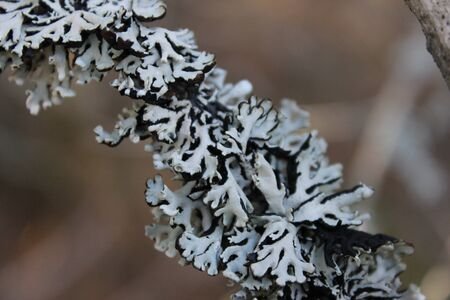 frilly: Black  White Lichens