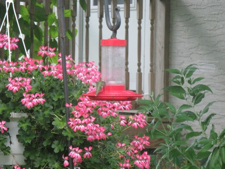 hummingbird at feeder with pink flowers
