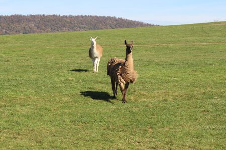 two llamas running in the green grass