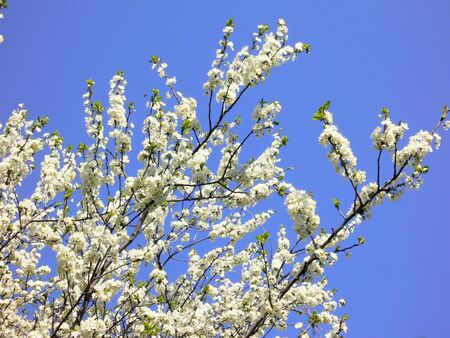 plum tree: Plum tree in bloom in a blue sky Stock Photo