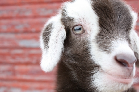 Close up of a baby goat s face with a background of wood with peeling red paint