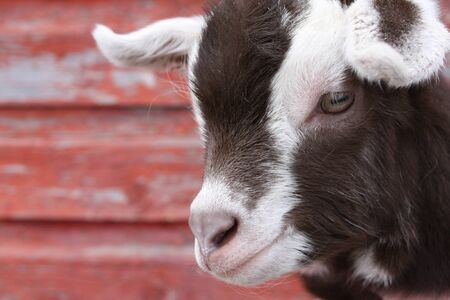 A close up of a goat kid s face, against a backdrop of peeling old red-painted wood