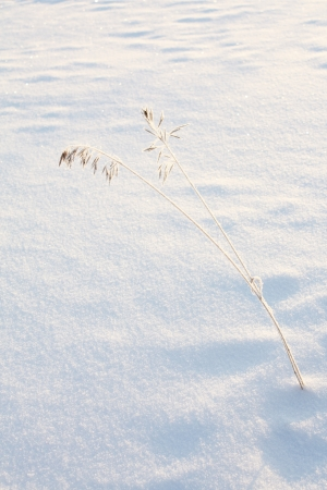 snowbank: two stalks of grass covered in frost, on a background of glittering pristine snow  Stock Photo