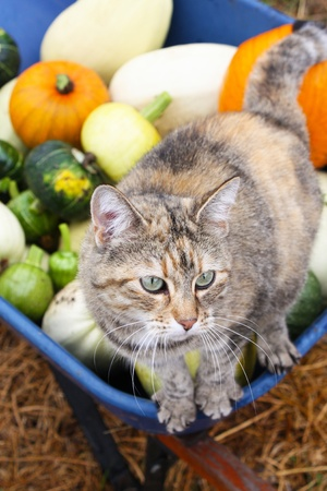 A variety of organic heirloom winter squashes, including pumpkins, in a blue wheelbarrow  A cat is balanced on the edge of the wheelbarrow, and the focus is on the cat