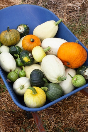 A variety of organic heirloom winter squashes, including pumpkins, in a blue wheelbarrow