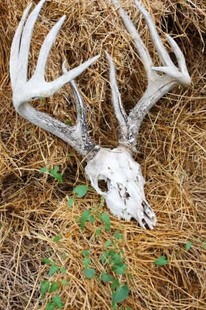 A weathered old deer skull with antlers, on a pile of straw with green weeds twining over top Reklamní fotografie - 16938030