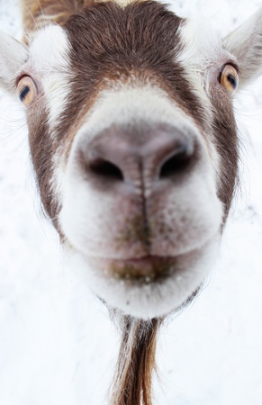 A funny close up picture of a goat s face