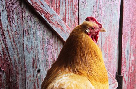 A gold colored rooster in front of a barn door with peeling red paint. Stock Photo
