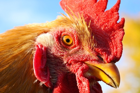 A close up image of a gold colored rooster isolated against the sky. Stock Photo