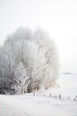 Frost covered trees in a snow covered field.