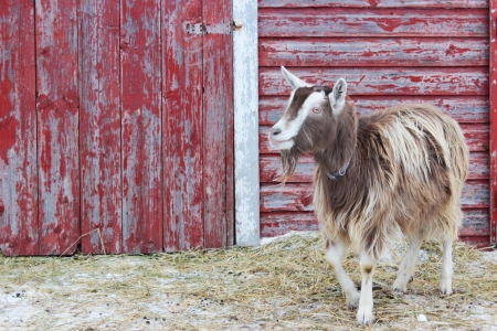 A Toggenburg breed dairy goat standing in a barnyard, in front of a red-painted barn with peeling paint.