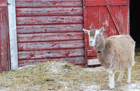 A Toggenburg breed dairy goat standing in a barnyard, in front of a red-painted barn with peeling paint. Stock Photo - 17335108