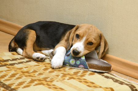 slippers: Beagle dog lying on the floor in the room with slippers Stock Photo
