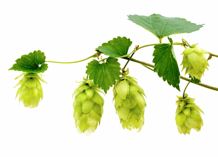 common hop: hop cones in vine on a white background