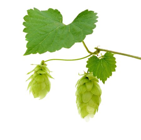 hop cones in vine on a white background